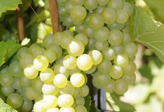 Grappes de raisin du domaine Caillez Lemaire