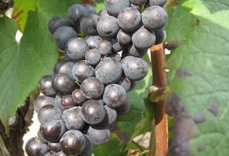 Grappes du Vignoble Cailliez Lemaire