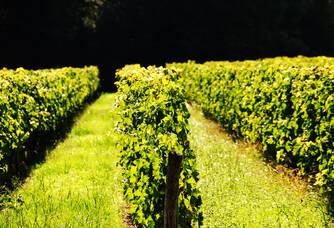 Les vignes du Château Lavenceau