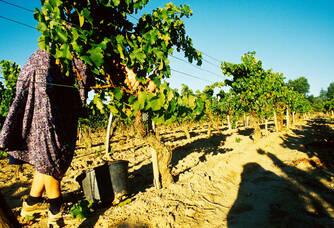 Préparation des vignes