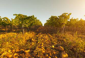coucher de soleil sur les vignes au domaine coudoulis