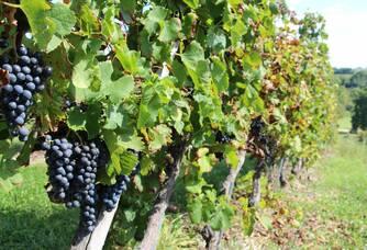 vignes et grappes du château Laronde