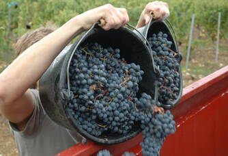 grappes récotées pendant la vendanges du domaine des Roques de Cana