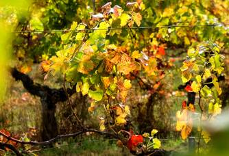Vigne du Château Fleur Haut Gaussens