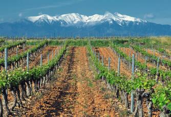 Les vignes du Domaine Piquemal