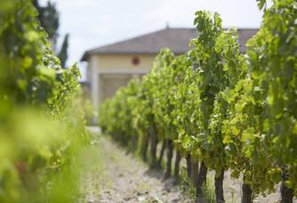 Les vignes du Château Trianon