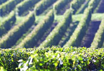 Vue sur les vignes du Château Fonchereau