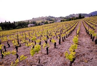 Le vignoble du Domaine Jean-Charles Girard Madoux