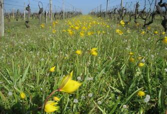 Entre les vignes du Château Le Terme Blanc