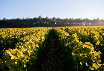 Les vignes des Champagnes Gremillet