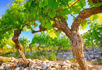 Des pieds de vigne du Château de Pennautier