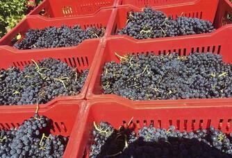 Les belles récoltes des vendanges du Domaine de Crémone