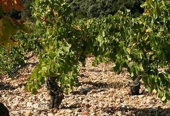 Un pied de vigne au Domaine de l'Horizon