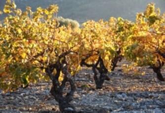 Les vignes en automne au Domaine de Venus