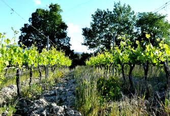 Les vignes du domaine de Verquière