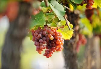 Une grappe de raisin des vignes du Domaine François Schwach
