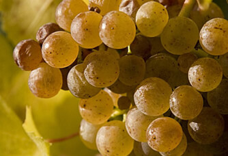 Une grappe de raisins blancs de la vigne au domaine Sergent