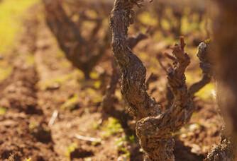 Les vignes du Domaine Les Capréoles