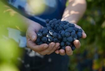 La cueillette lors des vendanges aux vignobles Bardet