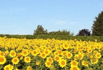 Les champs de tournesols qui bordent les Vignobles Garzaro
